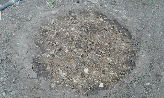 Выращивание брусники – с чего начать?
