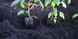 Посадка перца в теплицу – изучаем основные нюансы выращивания