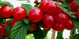 Посадка вишни войлочной и особенности ухода за деревом