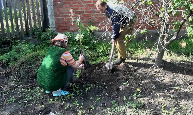 Посадка вишни – следуем рекомендациям садоводов