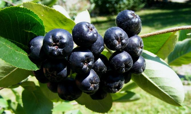 В чем заключаются лечебные свойства ягоды?