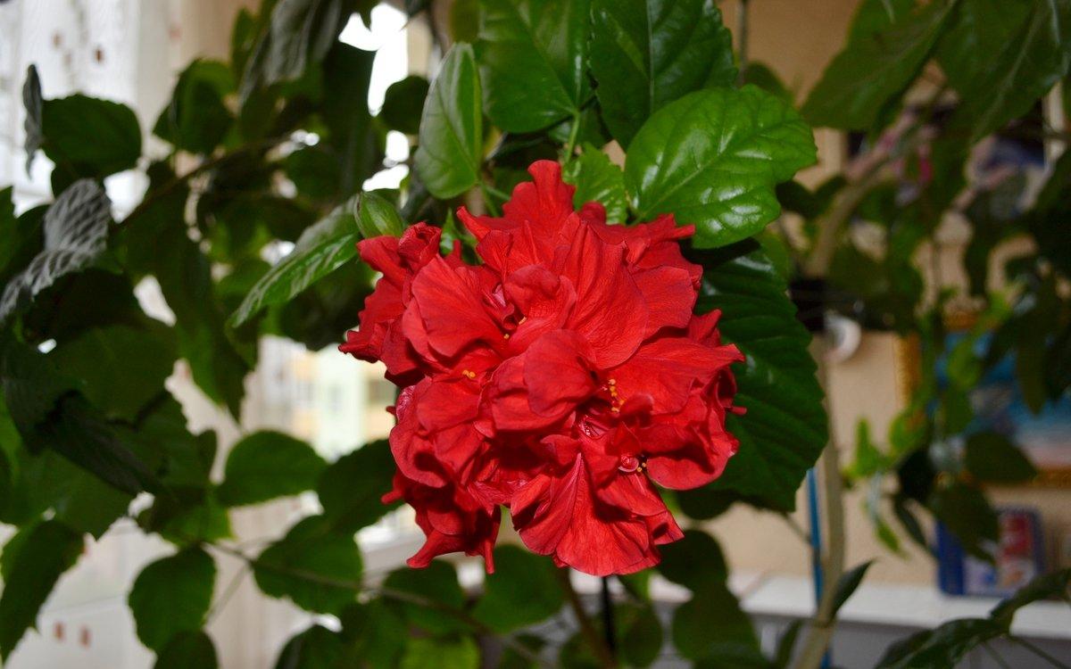 Почему сохнут листья у китайской розы