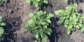 Полив картофеля – подбор оросительной системы и сезонные особенности