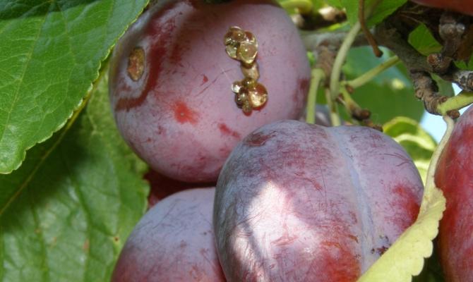 Раны на листьях и камедь на плодах – что происходит?