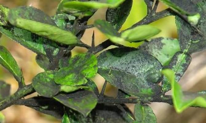 Ржавчина, коккомикоз и сажистый грибок – тройной удар по листьям