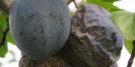 Болезни сливы – как вылечить фруктовое дерево и избежать потери урожая?