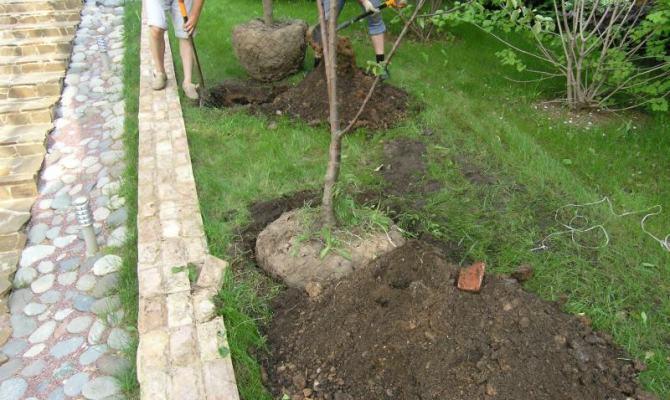 Способы размножения – расширяем яблоневый сад