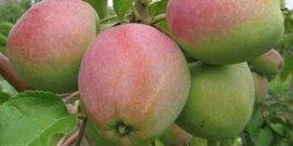 Яблоки Северный Синап – как вырастить устойчивый к холодам сорт?