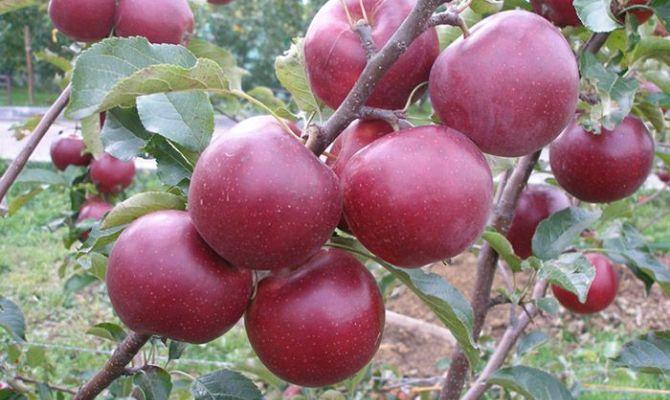Быстрый рост – вкусные яблоки на всю зиму