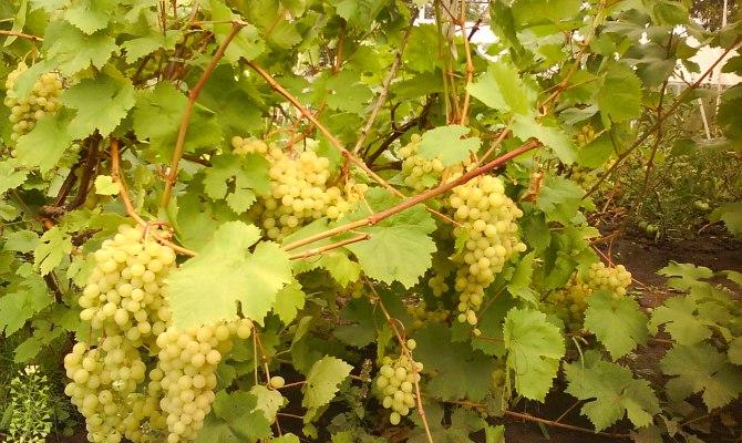 Сорт винограда Алёшенькин – как вырастить сладкие ягоды? + Видео