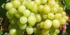 Сорт винограда Алёшенькин – щедрость русской земли