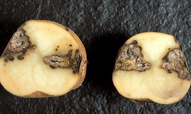 3 распространенные болезни картофеля – назначаем лечение