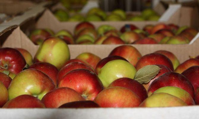 Как определить, когда собирать яблоки поздних сортов