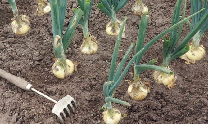 Уход за культурой – когда поливать и вносить удобрения?
