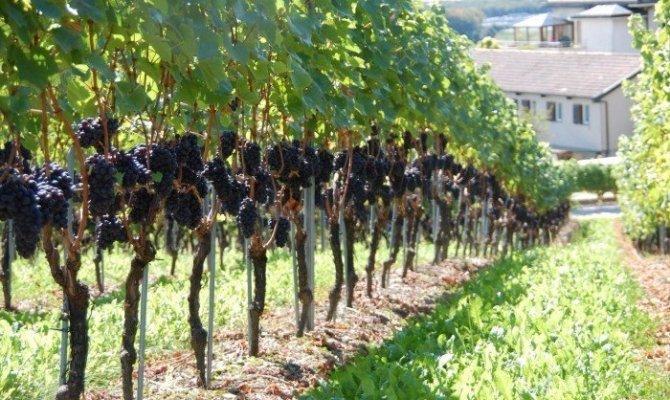 Обрезка винограда – бесштамбовый метод для начинающих + видео