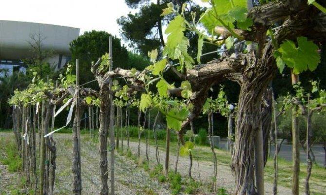 Формируем виноград по простому методу Гюйо