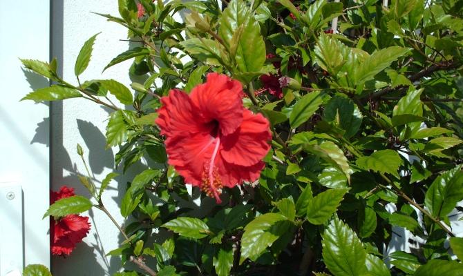 Что любит китайская роза – подбираем благоприятное место в доме