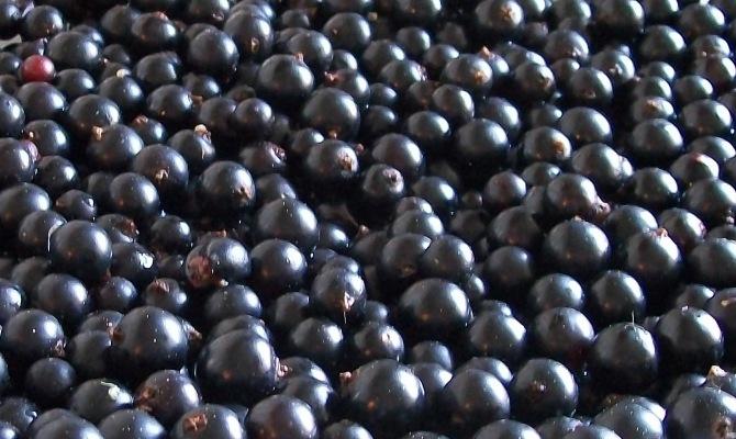 Как перебирать ягоды, и нужно ли их сушить?