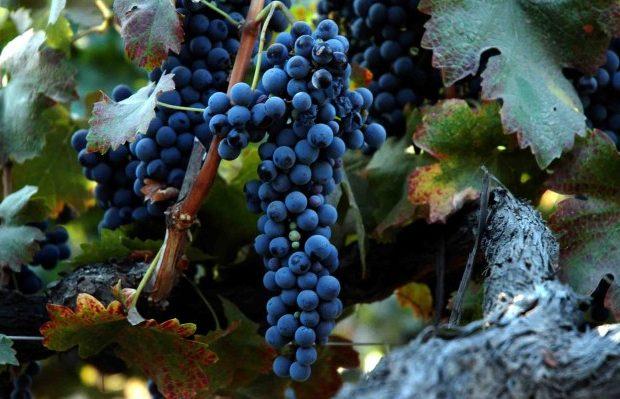Особенности сорта винограда Сира