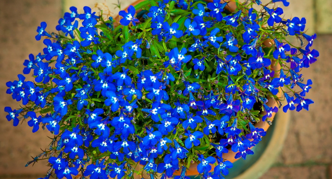 Лобелия фото цветов рассада 19