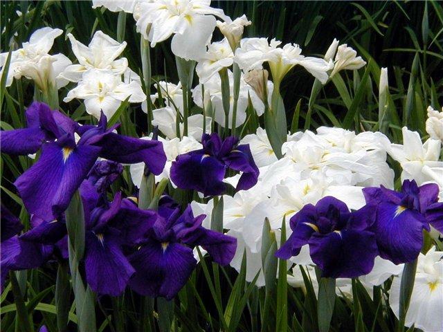 Белые и фиолетовые ирисы