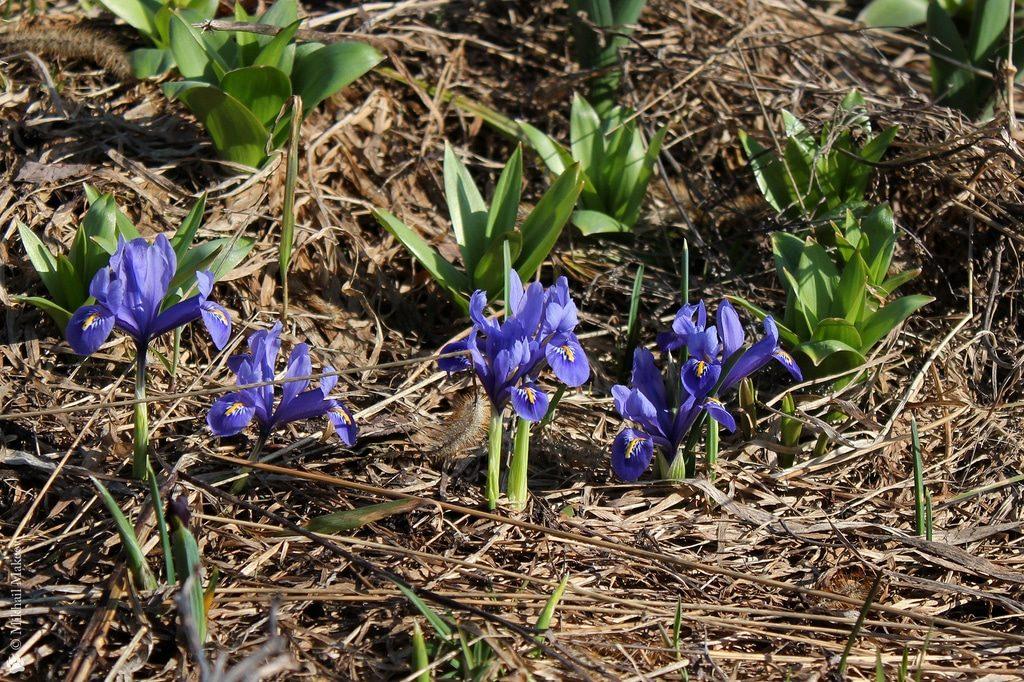 Цветущие ирисы весной