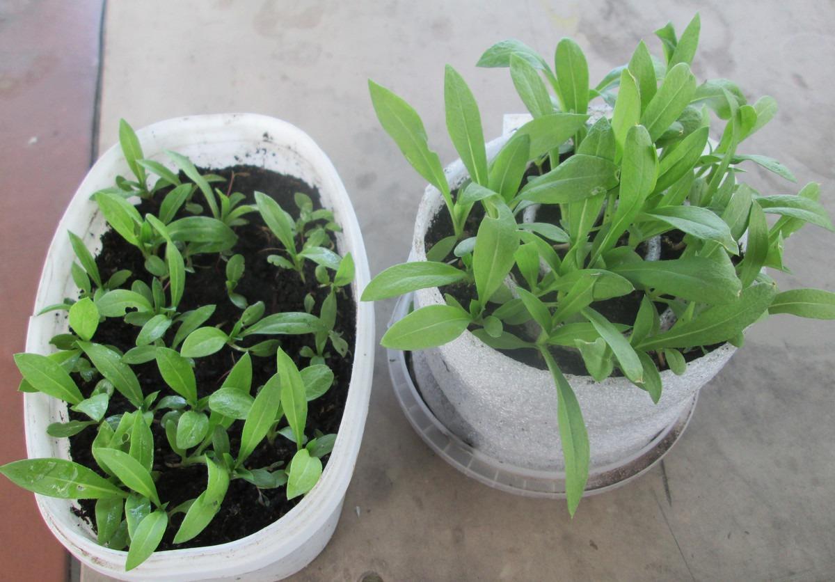 Однолетние флоксы - личный опыт выращивания, красивая