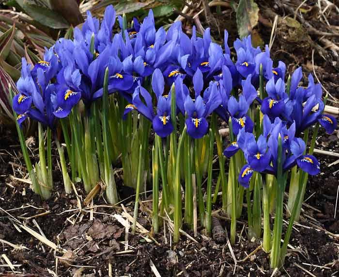 Синий ирис Иридодиктиум