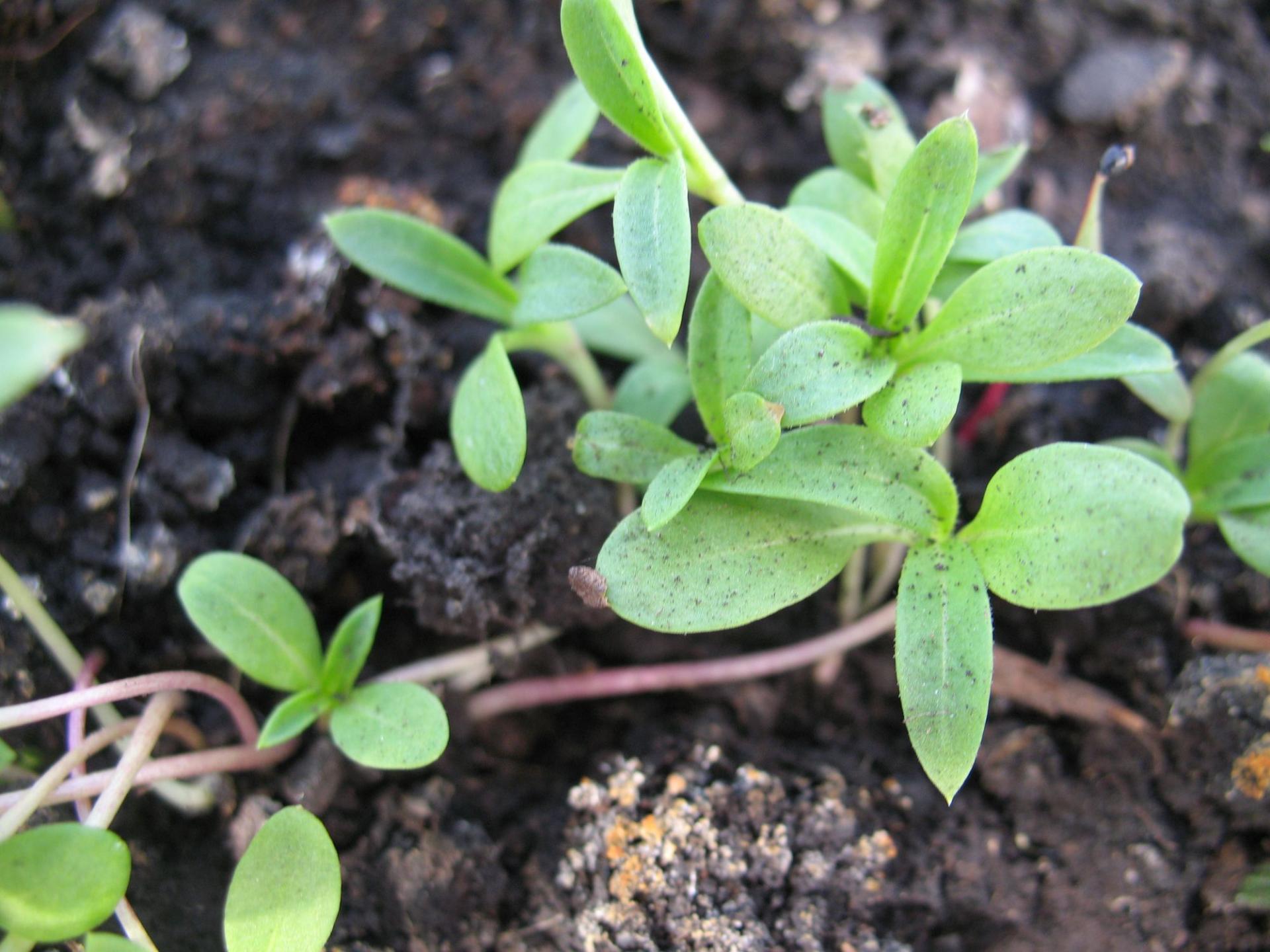 Однолетние флоксы - личный опыт выращивания, красивая 49
