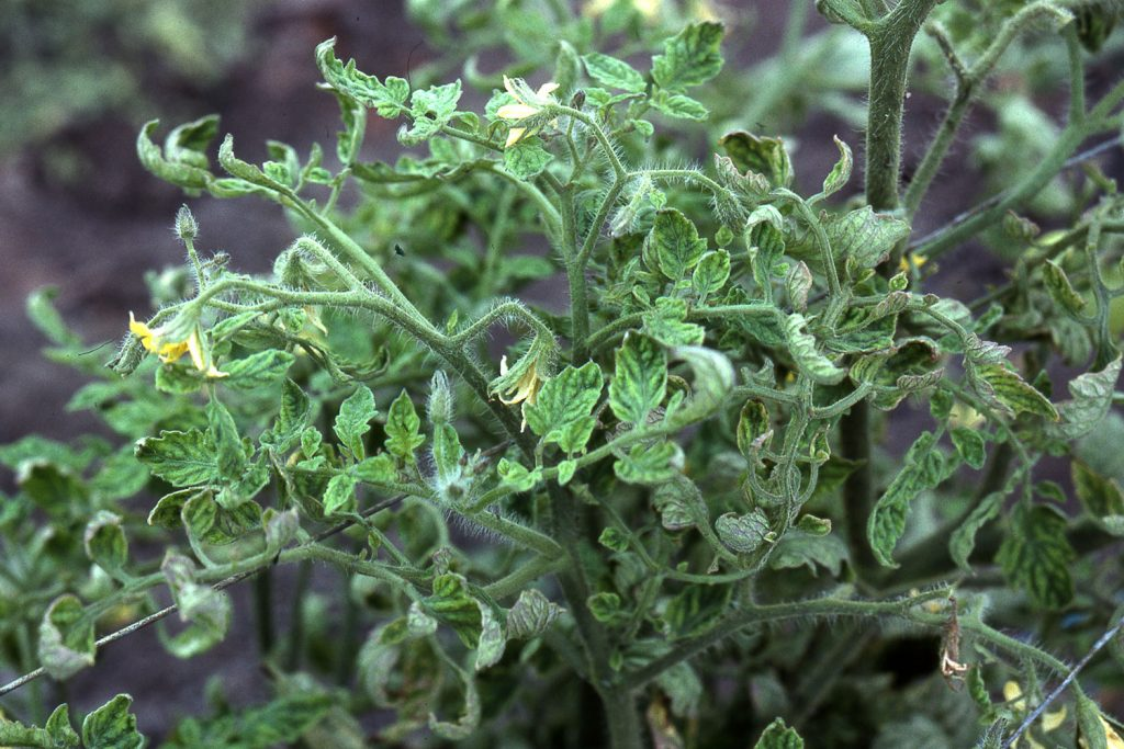 Куст томатов, поражённый аспермией