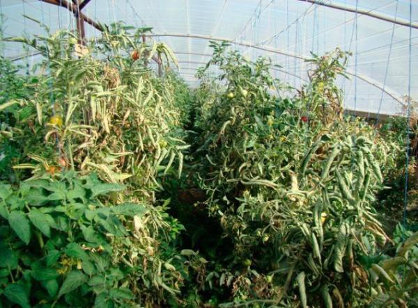 Столбур на листьях томатов