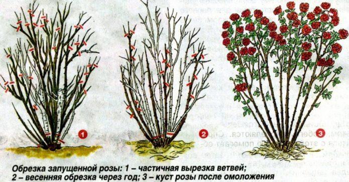 Эффект после обрезки роз на зиму