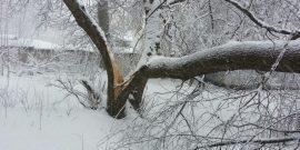 Первый снег комом: стоит ли избавлять от него деревья