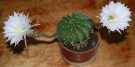 Впервые за долгое время зацвел кактус: значение приметы