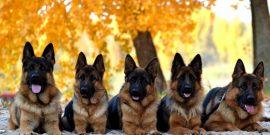 Зоркий охранник: 9 пород собак, которые идеально подходят для частного дома
