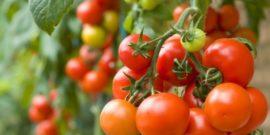Помидоры без изъяна: сорта томатов, которые устойчивы к фитофторозу