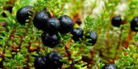 Годжи, фейхоа, шикша и еще 5 ягод-диковинок, которые можно вырастить у себя на даче