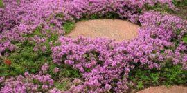 Яркий цветочный ковер в саду: 4 неприхотливых почвопокровных цветка