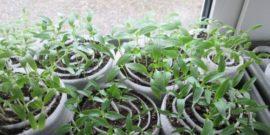 Сажаю семена в «улитки» — проблема с нехваткой места на подоконнике решена