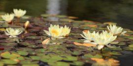 4 группы растений, которые украсят пруд и придадут особую атмосферу