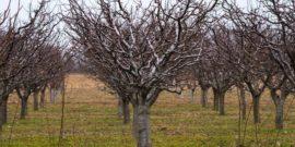 Чем лучше всего обработать сливу весной, чтобы забыть о монилиозе и наслаждаться сочным плодами