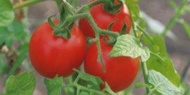 Посадил и забыл: ТОП-5 сортов помидоров, простых для выращивания