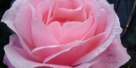 Розы, которые никого не оставят равнодушным – нежность зашкаливает