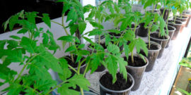 Народные способы подкормки рассады помидоров, чтобы она была крепкая