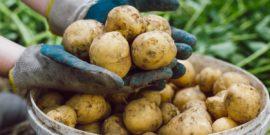 Если посадить картошку из магазина, что будет