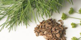 Способы удаления эфирной оболочки для успешного проращивания укропа