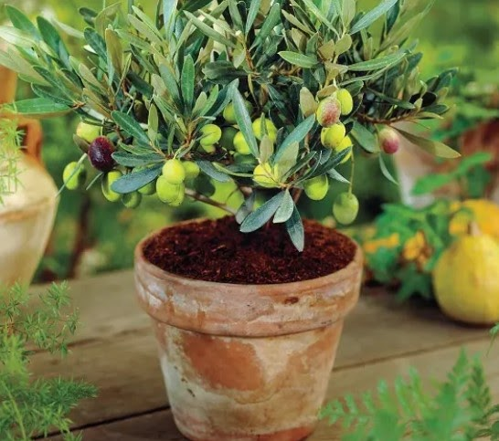 Лучшие сорта оливок для выращивания в домашних условиях