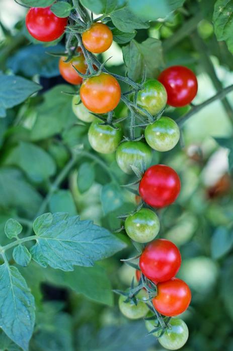 Помидоры Черри часто не успевают достигнуть биологической зрелости до окончания сезона и поэтому на момент уборки урожая остается много зеленых плодов на кустах