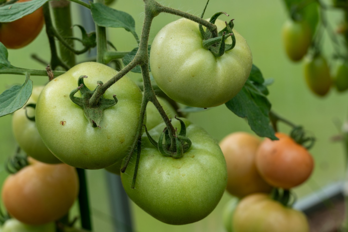 Снимать томаты с куста нужно осторожно, чтобы не повредить плодоножку, так как она защищает плод от проникновения патогенных организмов и защищает целостность помидора
