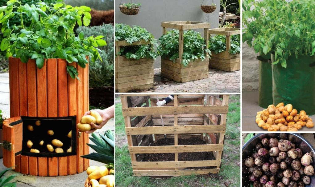 Выращивание картофеля в бочке: пошаговая инструкция, отзывы, фото